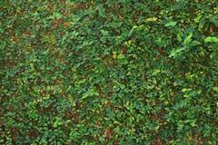 Fondo verde de la textura de la pared de la naturaleza de la vid de la hiedra de la hoja Imágenes de archivo libres de regalías