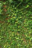 Fondo verde de la textura de la pared de la naturaleza de la vid de la hiedra de la hoja Fotos de archivo