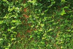 Fondo verde de la textura de la pared de la naturaleza de la vid de la hiedra de la hoja Imagen de archivo libre de regalías