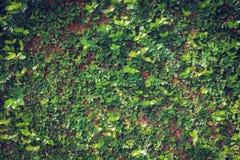 Fondo verde de la textura de la pared de la naturaleza de la vid de la hiedra de la hoja Imagen de archivo