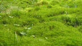 Fondo verde de la textura del musgo almacen de metraje de vídeo