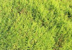 Fondo verde de las plantas del kochia imagen de archivo