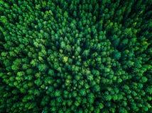 Fondo verde de los árboles en Lituania, Europa Imagen de archivo