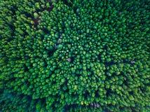 Fondo verde de los árboles en Lituania, Europa Foto de archivo libre de regalías
