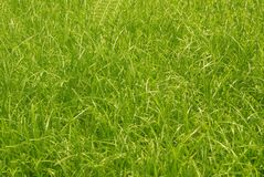 Fondo verde dei gress Immagini Stock