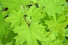 Fondo verde del arce foto de archivo