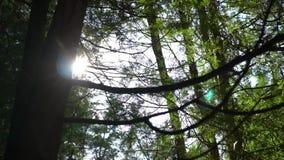 Fondo verde del bosque del pino en un día soleado Resplandor en la lente metrajes
