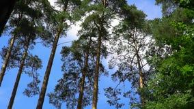 Fondo verde del bosque del pino en un d?a soleado almacen de metraje de vídeo