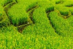 Fondo verde del campo del arroz foto de archivo libre de regalías