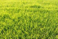 Fondo verde del campo del arroz Fotografía de archivo