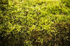Fondo verde del extracto del musgo Imágenes de archivo libres de regalías