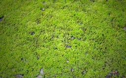 Fondo verde del liquen foto de archivo