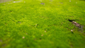 Fondo verde del MOS Fotografia Stock Libera da Diritti
