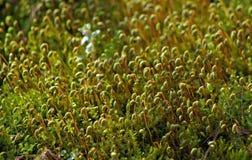 Fondo verde del musgo foto de archivo libre de regalías