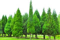 Fondo verde del pino y del ciprés en campo fotos de archivo