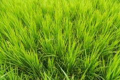 Fondo verde del primer del campo del arroz en campo de la agricultura Imagen de archivo libre de regalías