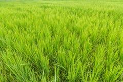 Fondo verde del primo piano del giacimento del riso nel campo di agricoltura Fotografie Stock Libere da Diritti