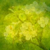Fondo verde del resorte con las flores de la manzana Imagen de archivo libre de regalías