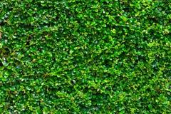 Fondo verde della barriera della scatola con le foglie verdi Fotografia Stock Libera da Diritti