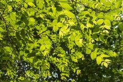 Fondo verde della foglia Fotografie Stock