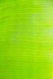 Fondo verde della foglia della banana Immagine Stock