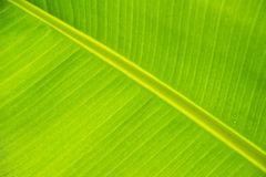 Fondo verde della foglia della banana Fotografia Stock Libera da Diritti