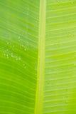 Fondo verde della foglia della banana Fotografia Stock