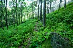 Fondo verde della natura degli alberi. Piantagione degli alberi di gomma del lattice Fotografia Stock Libera da Diritti