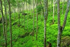 Fondo verde della natura degli alberi. Piantagione degli alberi di gomma del lattice Fotografie Stock Libere da Diritti
