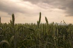 Fondo verde della natura del vento di estate del giacimento di grano Fotografia Stock Libera da Diritti