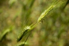 Fondo verde della natura del vento di estate del giacimento di grano Immagine Stock
