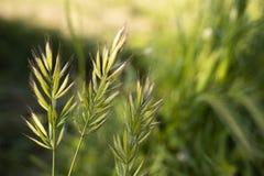 Fondo verde della natura della pianta del grano dei cereali fotografia stock