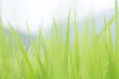 Fondo verde della sfuocatura della foglia del riso Fotografia Stock