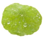 Fondo verde delle gocce di acqua della foglia immagine stock