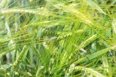 Fondo verde di agricoltura del giacimento di grano Fotografie Stock Libere da Diritti