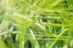 Fondo verde di agricoltura del giacimento di grano Fotografia Stock