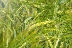 Fondo verde di agricoltura del giacimento di grano Fotografia Stock Libera da Diritti
