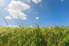 Fondo verde di agricoltura del giacimento di grano Immagini Stock