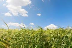 Fondo verde di agricoltura del giacimento di grano Immagine Stock
