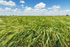 Fondo verde di agricoltura del giacimento di grano Immagine Stock Libera da Diritti