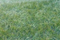 Fondo verde di agricoltura del giacimento di grano Fotografie Stock