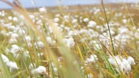 Fondo verde di lanugine e di erba video Fluff i fiori viola nel campo dell'estate della campagna - bella natura immagine stock libera da diritti
