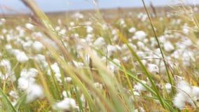 Fondo verde di lanugine e di erba video Fluff i fiori viola nel campo dell'estate della campagna - bella natura stock footage