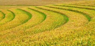 Fondo verde e giallo dei terrazzi del riso Immagine Stock
