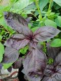 Fondo verde e rosso fresco dell'erba del basilico, vista superiore Pianta del basilico che cresce in un giardino Pianta del basil Immagini Stock