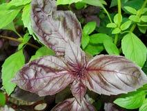 Fondo verde e rosso fresco dell'erba del basilico, vista superiore Pianta del basilico che cresce in un giardino Pianta del basil Fotografia Stock Libera da Diritti