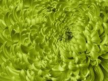 Fondo verde floreale Primo piano blu del crisantemo del fiore Petali del crisantemo fotografia stock
