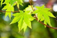 Fondo verde fresco de las hojas de arce Imágenes de archivo libres de regalías
