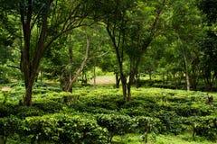 fondo verde fresco del árbol de la plantación de la granja del té Fotos de archivo libres de regalías
