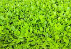 Fondo verde fresco del arbusto Foto de archivo